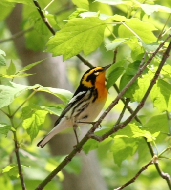 Blackburnian Warbler at Magee Marsh during migration