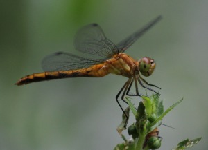 Dragonfly, a bit out of focus