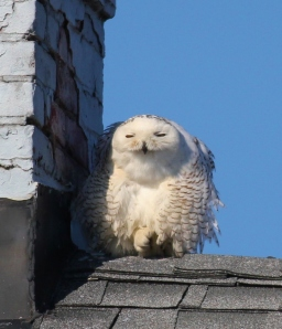 My Snowy Owl from February 2012 -- Half-opened eyes, just checking out the crowd