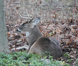 Buck deer resting