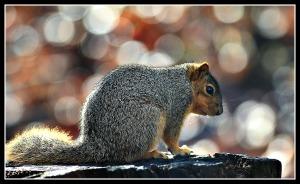 Squirrel bokeh