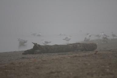 Gulls in the fog on beach with log (800x533)