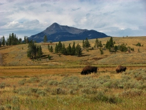 Bison grazing at Yellowstone