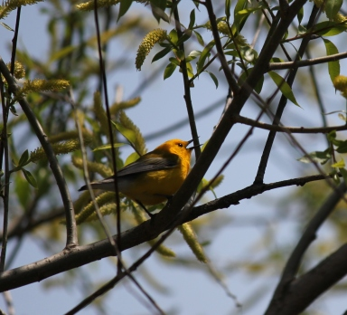 I caught this Prothonotary Warbler singing last May at Magee Marsh in Ohio.