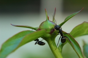 These big ants love the sticky buds of peonies