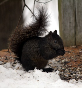 Black morph Gray Squirrel