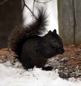 Black morph Gray Squirrel