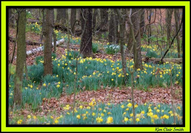 A carpet of woodland daffodils