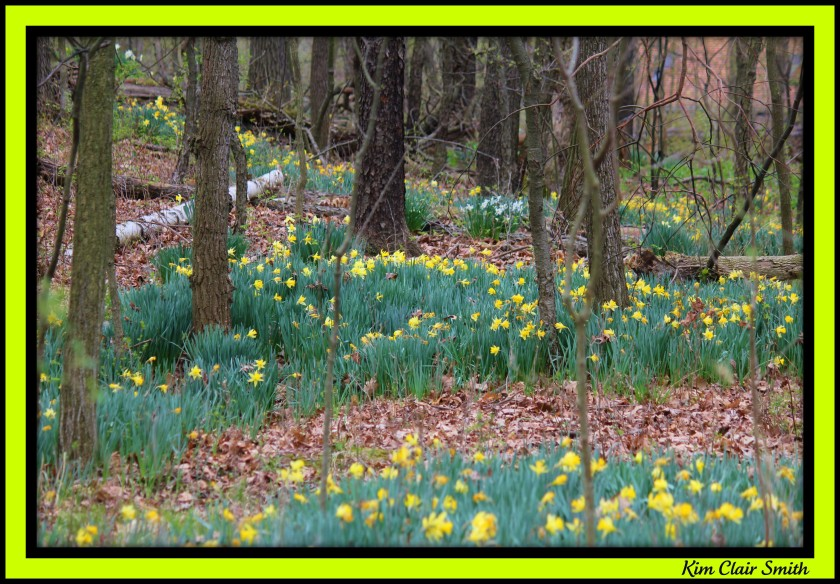 A carpet of woodland daffodils
