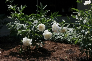 My Duchesse de Nemours Peonies outside the kitchen window
