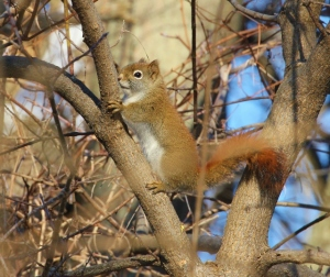 Red Squirrel -- so cute!
