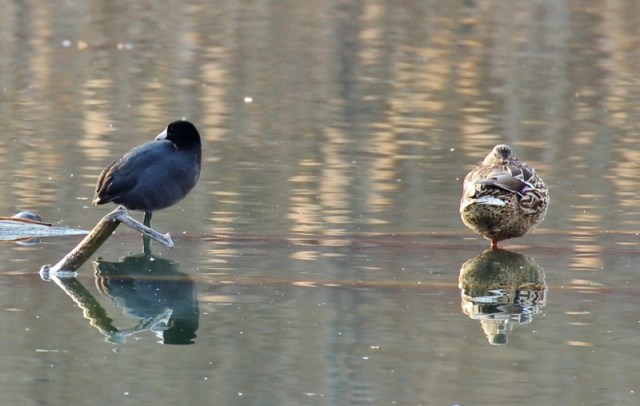 Coot and female Mallard. Aren't their reflections nice in this pic?