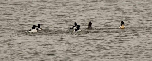 Five male Common Mergansers chasing a lone female. Fierce competition!