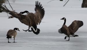 Geese agitated v3 (800x460)