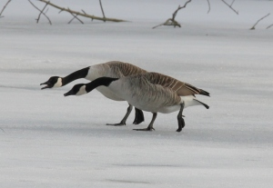Geese - synchronized honking (800x554)