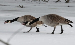 Geese with tongues hanging out (800x485)