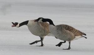 Goose tongue v2