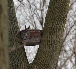 Great horned owl in bucket 2013 v3