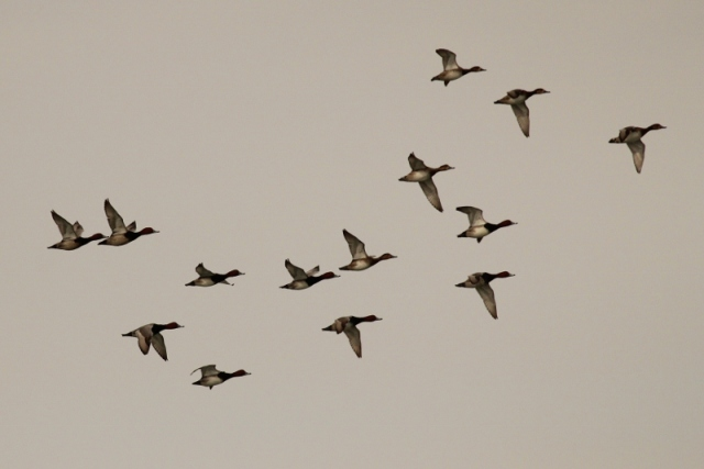 Flock of Redheads doing a flyover