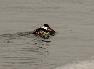 Ruddy Duck with his bill skimming the water surface