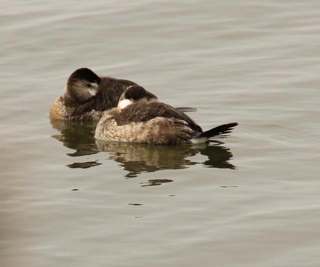 Ruddy Ducks napping