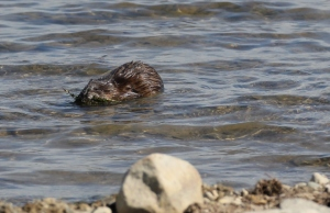 Beaver with mouthful of seaweed v3 (640x414)