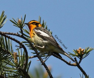 Blackburnian Warbler in Tawas, MI