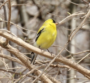 Male American Goldfinch, freshly painted in lemon yellow!