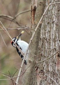 Hairy Woodpecker stashing nut in old Pileated hole