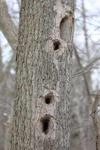 Pileated Woodpecker holes from previous years (533x800)