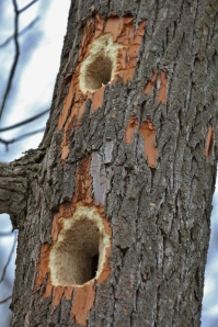 Pileated Woodpecker holes in sassafras tree (533x800)