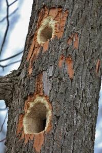 Pileated Woodpecker holes in sassafras tree (533x800)