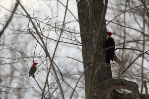 Red-bellied woodpecker and Pileated woodpecker -- look at the size difference!