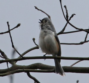 Tufted Titmouse, calling our his territorial boundaries to all the other birds