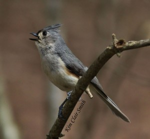 Tufted Titmouse claiming his territory
