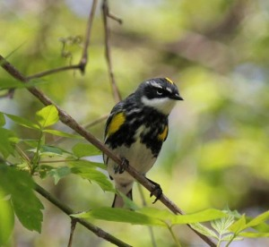 Front view of Yellow-rumped Warbler in spring breeding plumage