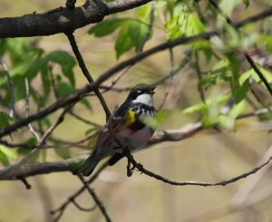 Singing Yellow-rumped Warbler, partially hidden among the leaves