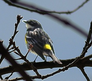 Yellow-rumped Warbler rear view - adjusted lighting