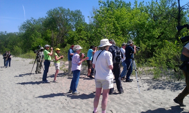 Watching the Kirtland's Warbler on the east beach at Magee Marsh