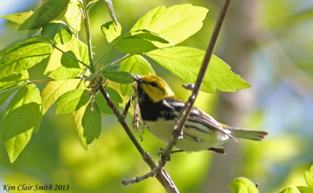 Black-throated Green Warbler, blurry but still awesome