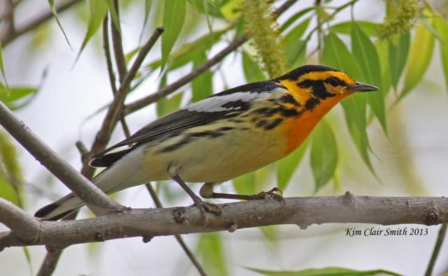 My favorite warbler, for obvious reasons: Blackburnian Warbler