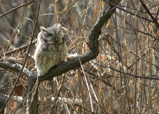 Eastern screech-owl - reduced file size w sig