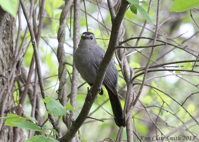 Gray Catbird watching me watching him.