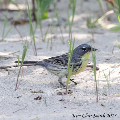 Kirtland's Warbler, foraging in the sand