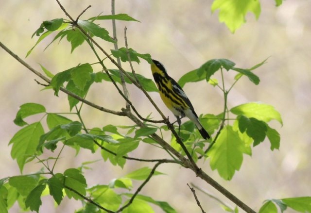 Magnolia Warbler reaching for an insect.
