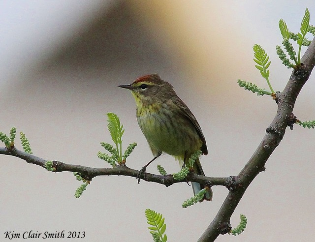 Palm Warbler, also taken from hotel balcony