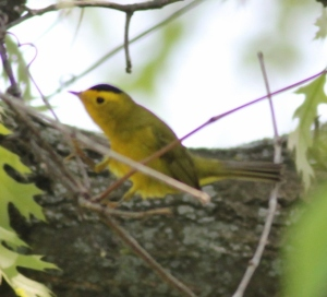 Bob's lifer Wilson's Warbler -- I wish I'd gotten a better picture!