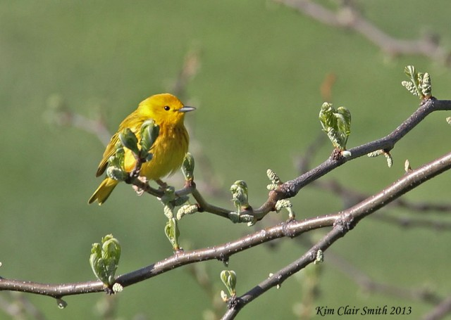 Yellow Warbler, taken from our hotel room balcony