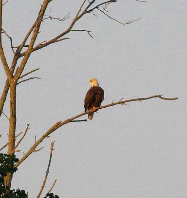 Bald Eagle on bare branch