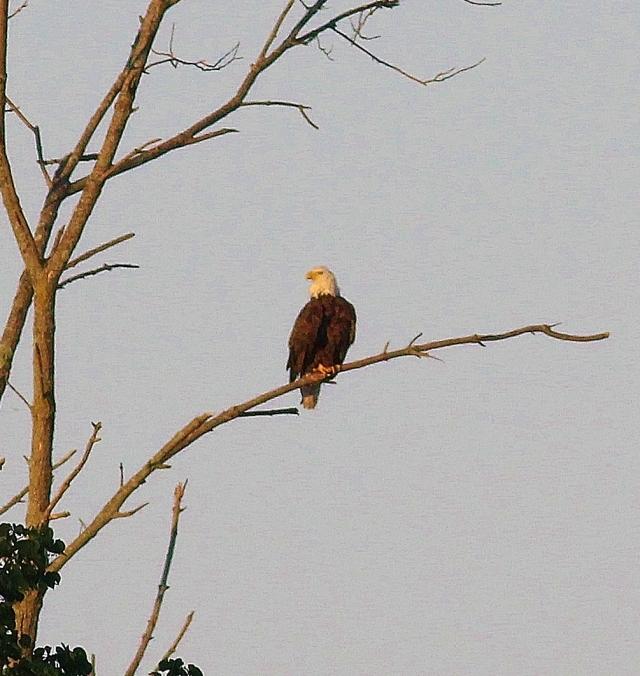 Bald Eagle on bare branch